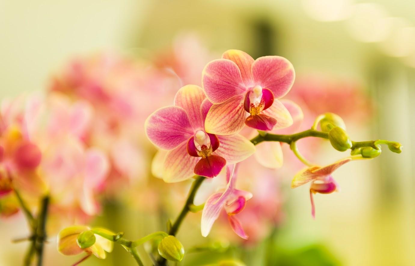 Klasifkatorica za orhideje